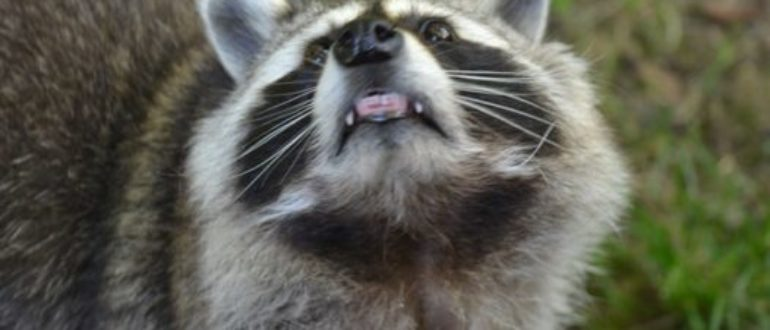 What Scares Raccoons? - Get Raccoons Out