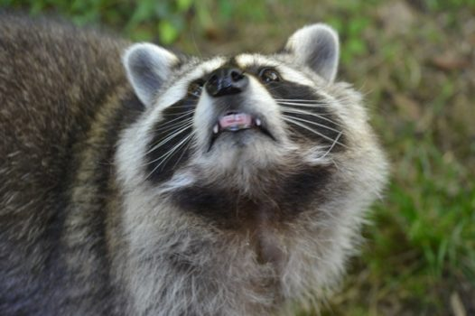 What scares raccoons get raccoons out - How to keep raccoons out of garden ...